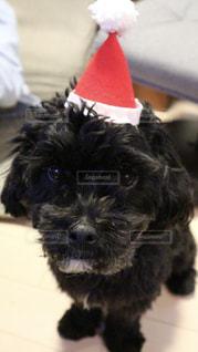 カメラを見て小さな黒い犬の写真・画像素材[1004135]