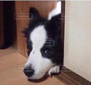 カメラを見て黒茶色と白犬の写真・画像素材[973692]