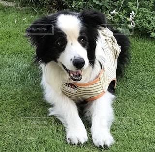 白と黒の犬の口の中でフリスビーで遊んでの写真・画像素材[973697]