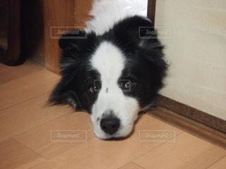 床に犬の地位の写真・画像素材[996359]