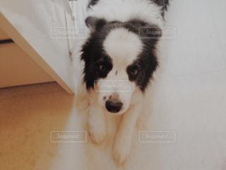 カメラを見て茶色と白犬の写真・画像素材[996387]