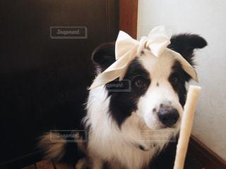 犬,動物,ペット,リボン,りぼん