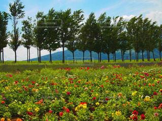 フィールド内の黄色の花の写真・画像素材[1399599]