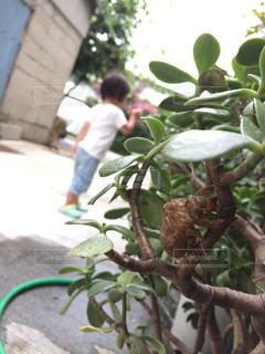 子ども,夏,緑,虫取り,蝉,帰省,抜け殻,蝉の抜け殻