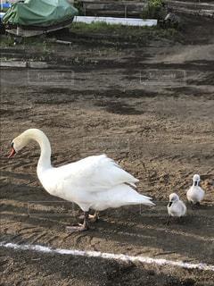 白鳥の親子の写真・画像素材[1683611]
