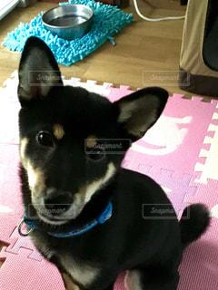 カメラを見て小さな黒い犬 - No.988518