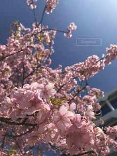 花,春,桜,ピンク,綺麗,青空,お花見