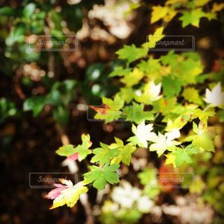 自然,風景,空,秋,紅葉,森林,屋外,山,樹木,渓谷,新潟県,草木,11月,ガーデン,モミジ,峡谷,胎内市,奥胎内