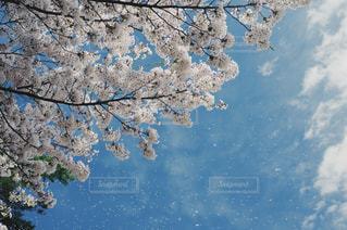 桜吹雪 - No.1118521