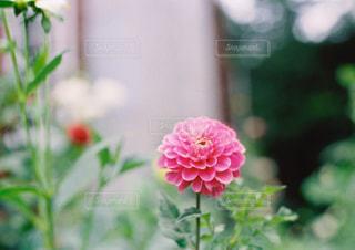花,ピンク,flower,軽井沢,ピンク色,桃色,ダリア,pink,軽井沢タリアセン