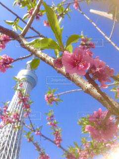 花,春,桜,青空,スカイツリー