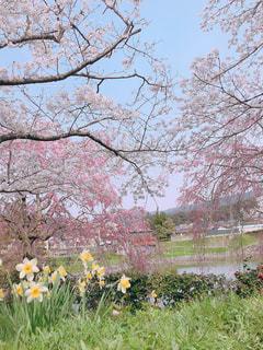 風景,花,春,木,屋外,田舎,花見,樹,鳥取県,鹿野町