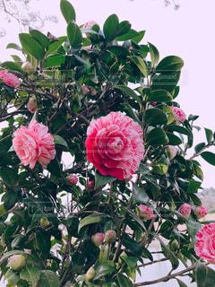 花,春,木,屋外,田舎,樹,鳥取県,鹿野町