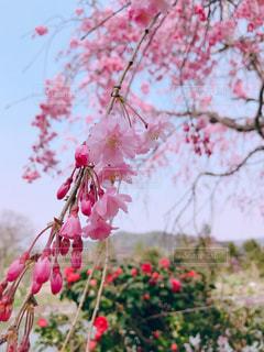 風景,花,春,桜,木,屋外,田舎,花見,樹,鳥取,鹿野町
