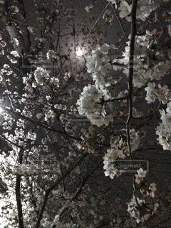 花,春,桜,夜,木,屋外,樹,兵庫県,姫路市