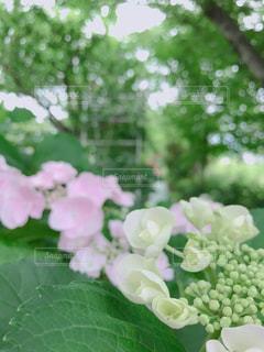 花,屋外,緑,紫陽花,外,梅雨,兵庫県