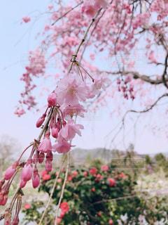 花,春,桜,屋外,ピンク,花見,桃色,鳥取,鹿野