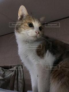 猫,動物,ペット,驚いた顔,驚き,ビックリ,三毛猫