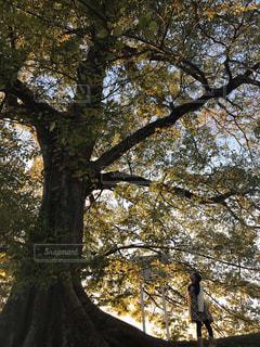 自然,秋,紅葉,木,女の子,観光,姫路城,樹,姫路,大樹,兵庫県,ムクノキ