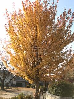 屋外,黄色,外,イチョウ,銀杏,イエロー,姫路,黄,街路樹,yellow