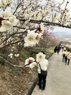 花,梅,花見,お花見,兵庫県,白梅,綾部山