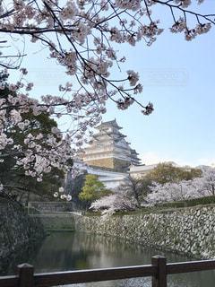 空,花,桜,屋外,お城,満開,樹木,姫路城