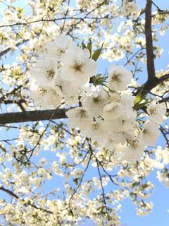 空,花,春,屋外,満開,樹木,桜の花,さくら
