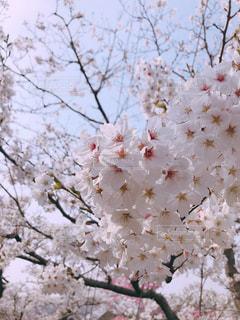 花,春,桜,屋外,満開,樹木,桜の花,さくら