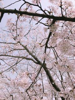 空,花,春,桜,屋外,満開,樹木,桜の花,さくら
