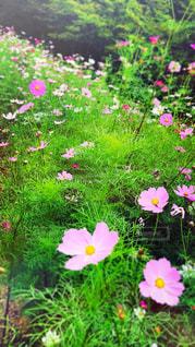 花,コスモス,コスモス畑