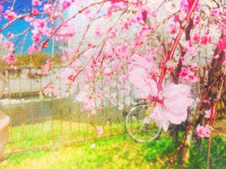春,桜,ピンク,お花見,ピクニック,さくら