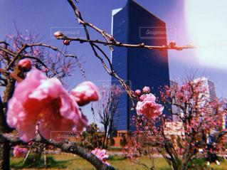 春,桜,ビル,ピンク,お花見