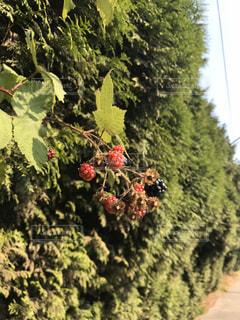 花園自然のブラックベリーの写真・画像素材[3155442]