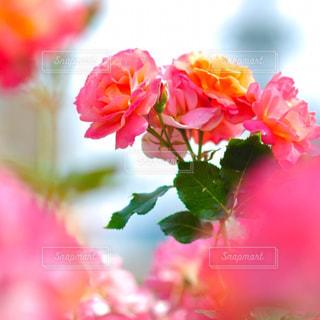 ピンクの写真・画像素材[842377]