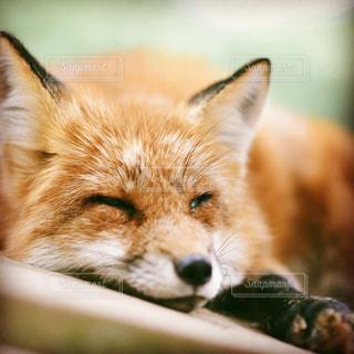 近くに狐のアップ - No.871009
