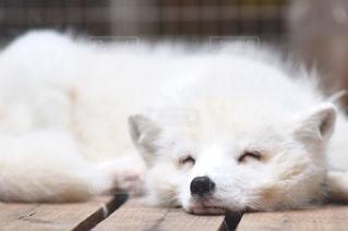地面に横になっている狐の写真・画像素材[908930]