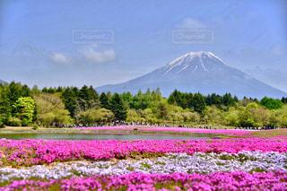 富士山と芝桜の写真・画像素材[1122368]