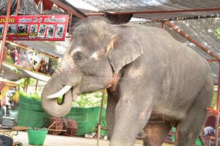 象に乗る人の写真・画像素材[1194750]