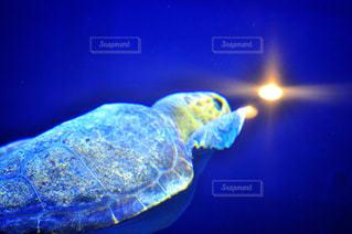 水の下で泳ぐ海亀の写真・画像素材[1312513]