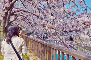 女性,自然,花,春,桜,屋外,川,花見,樹木,お花見,人物,人,ライフスタイル,さくら,50代,40代