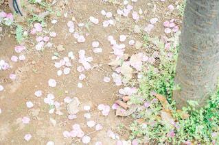 花,春,桜,花見,樹木,お花見,地面,さくら