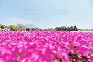 紫色の花のフィールドのグループの写真・画像素材[1832354]