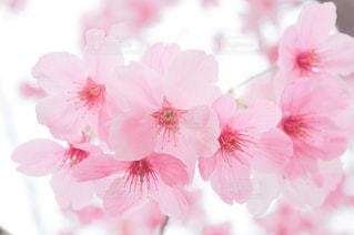 植物にピンクの花の写真・画像素材[1832430]