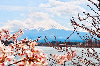 自然,花,春,桜,富士山,屋外,湖,ピンク,水辺,花見,山,景色,樹木,お花見,山梨,河口湖,草木,桜の花,さくら