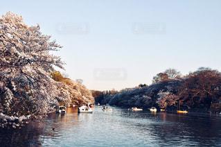 公園,花,春,桜,屋外,東京,ピンク,ボート,水面,水辺,夕方,花見,景色,樹木,お花見,草木,桜の花,日中,井の頭公園,さくら,ブロッサム