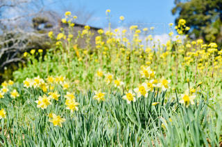 フィールド内の黄色の花の写真・画像素材[1855523]