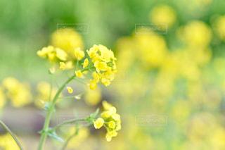 花,春,屋外,黄色,菜の花,田舎,景色,草,菜の花畑,色,千葉県,草木,いすみ市,市原市