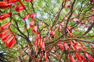 赤い葉の木の写真・画像素材[1856371]