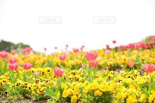 フィールド内の黄色の花の写真・画像素材[1875972]