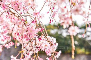 ピンクの花を持つ木の写真・画像素材[3088985]